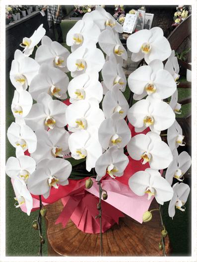 胡蝶蘭ギフト 3本42輪イメージ