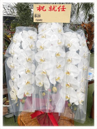 胡蝶蘭ギフト 3本45輪イメージ