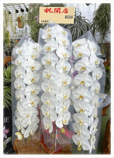 胡蝶蘭ギフト 3本54輪イメージ