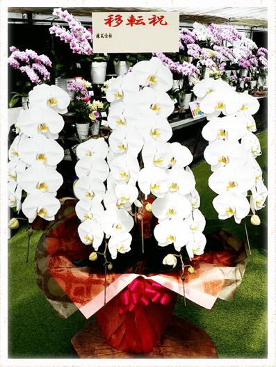 胡蝶蘭ギフト 50輪イメージ