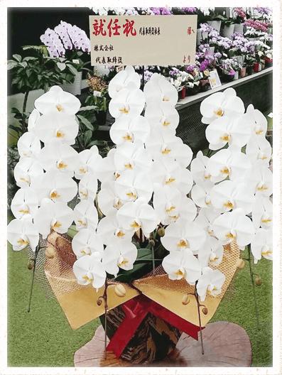 胡蝶蘭ギフト 55輪イメージ