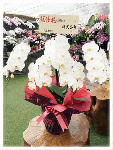 胡蝶蘭ギフト 5本40輪イメージ