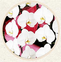 白大輪胡蝶蘭