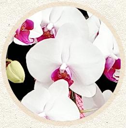 紅白胡蝶蘭'ユウコ'