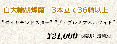 胡蝶蘭ギフト 3本36輪 24,000円