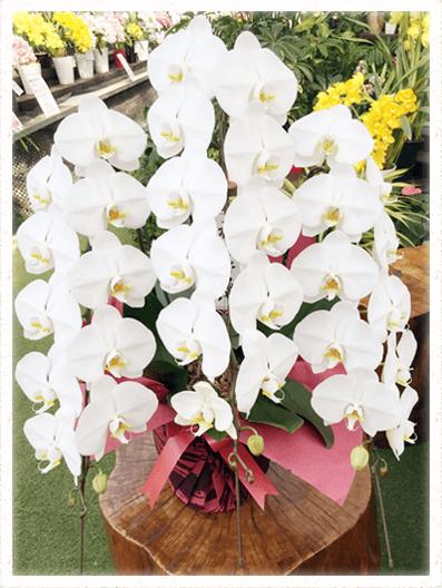胡蝶蘭ギフト 3本39輪イメージ
