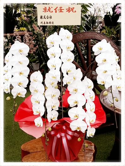 胡蝶蘭ギフト 5本60輪イメージ