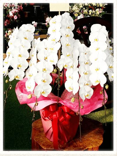 胡蝶蘭ギフト 65輪イメージ