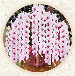 ピンク色中大輪胡蝶蘭 「桜姫」100輪以上'