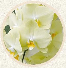 黄色胡蝶蘭'ゴールドフィンガー'