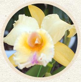 黄色系カトレア