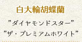 白大輪胡蝶蘭'ダイヤモンドスター'ソーゴユキディアンV3