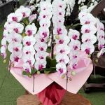 ピンク色胡蝶蘭'ミオ'